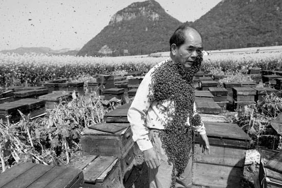 Yellow Peril - Beekeeping and mass tourism on rapeseed field in Luoping, Yunnan.