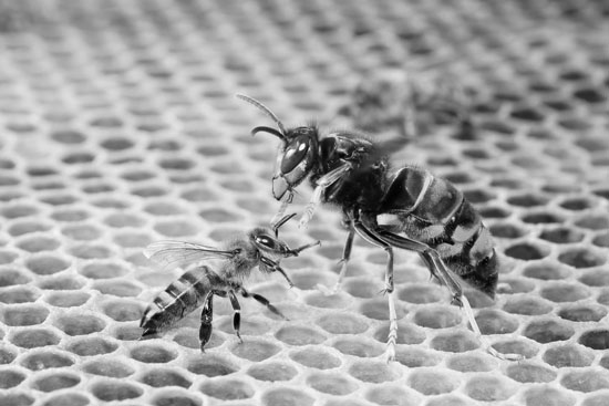 Asian predatory wasp: The Honeybees Killer
